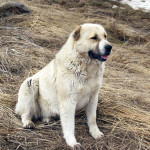 Планета собак — Армянский волкодав Гампр